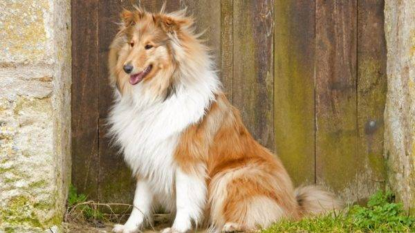 Long-haired collies
