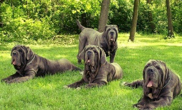 Mastino neapolitano in the park