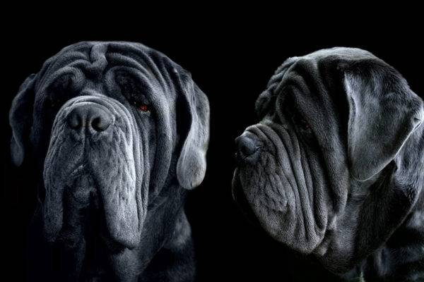 mastino neapolitano beautiful photo