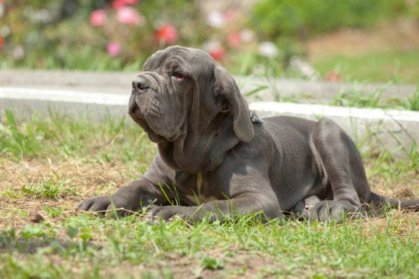 mastino neapolitano on the grass