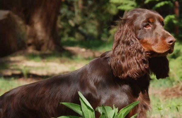 Field-spaniel in the forest