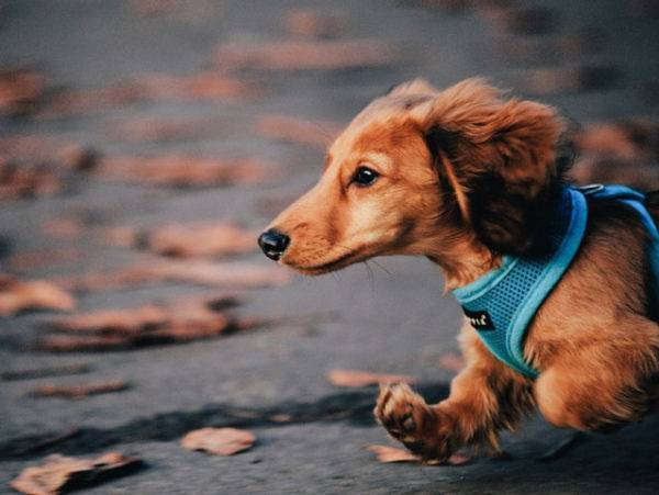 Long haired dachshund runs along the road