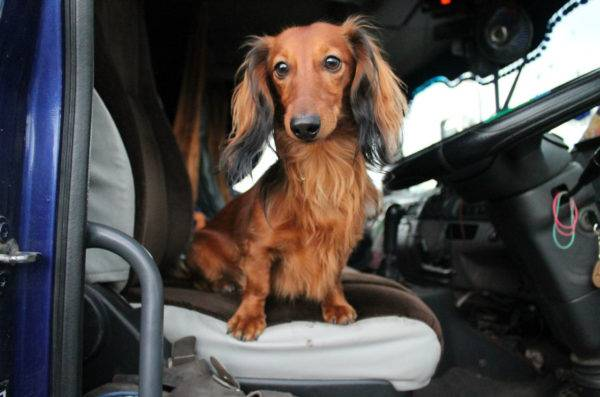 Long-haired dachshund in the car