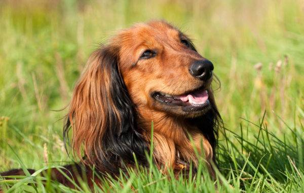 Long haired dachshund in the grass