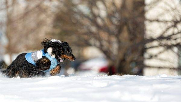 Long haired dachshund in winter