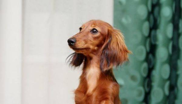Long haired dachshund snout