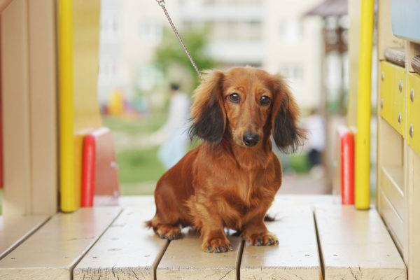 Long haired dachshund on the playground