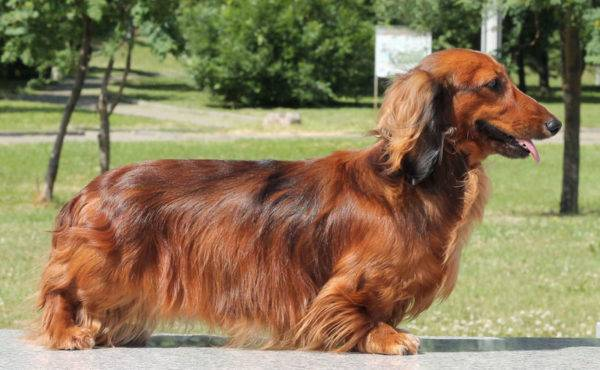 Long haired dachshund for a walk