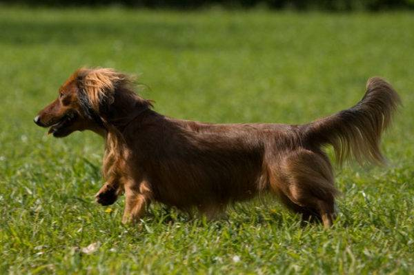 Long haired dachshund breed description