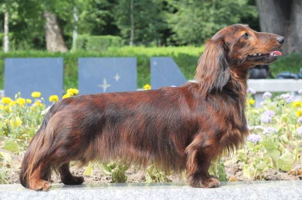 Long-haired dachshund tiger