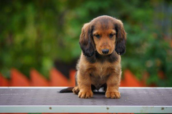 Long haired dachshund puppy sitting