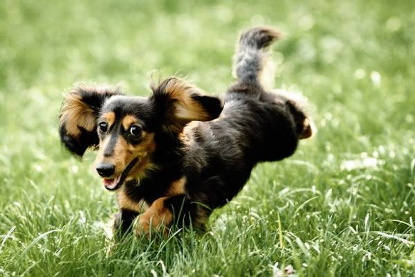 Long-haired dachshund two-color