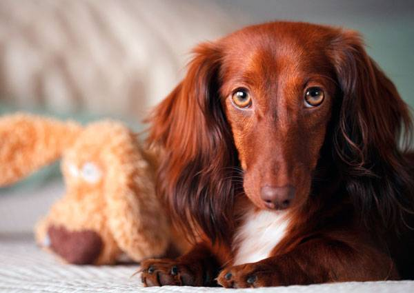Beautiful long haired dachshund red