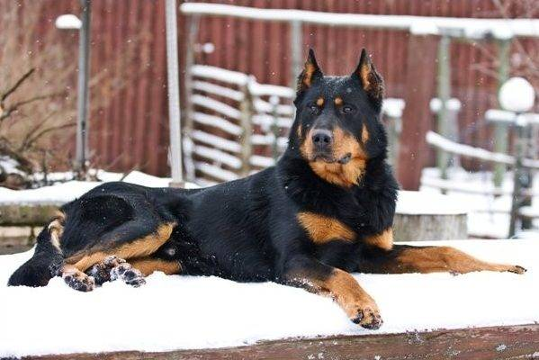 Black Beauceron