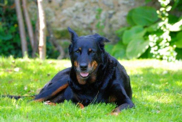 Beautiful Beauceron