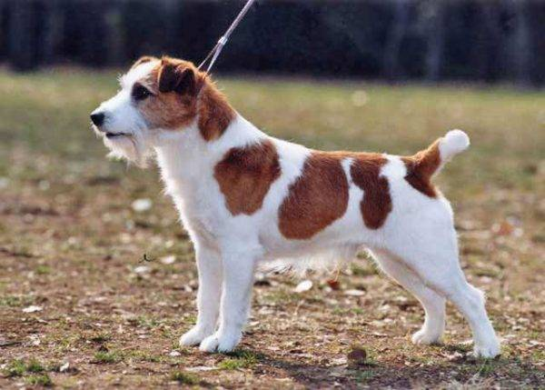 Old Jack Russell Terrier