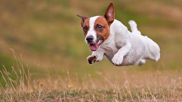 The character of Jack Russell Terriers