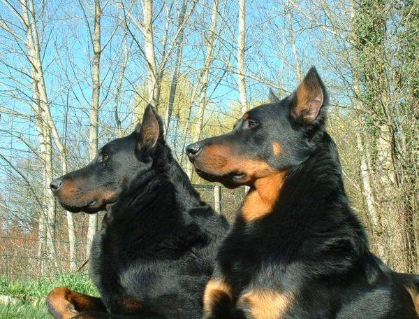 Beauceron Care