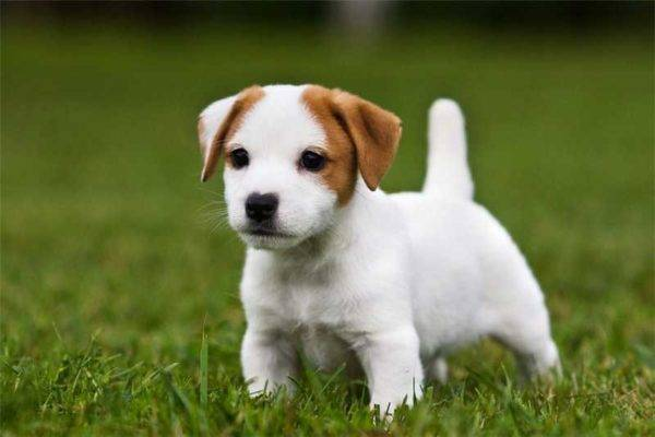 Care for the Jack Russell Terrier