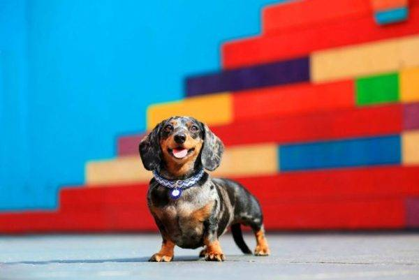 Dwarf dachshund on a beautiful background