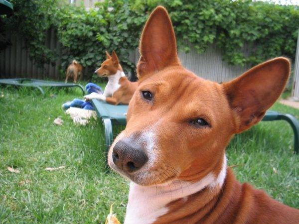 How to care for basenji