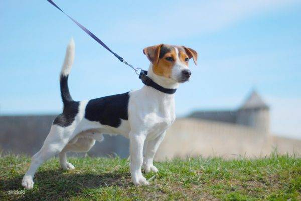 The amazing character of Jack Russell Terriers