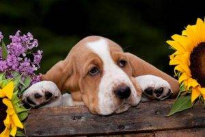 Basset Hound in colors