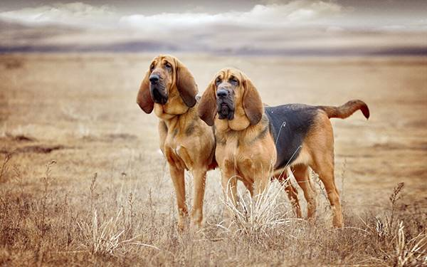 Bloodhounds in the field
