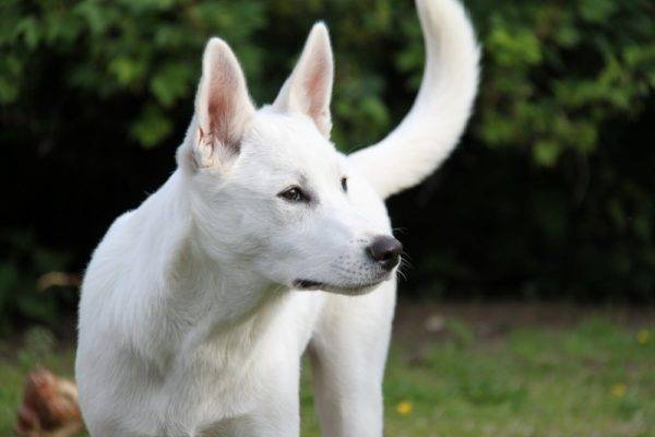 White Canaan Dog