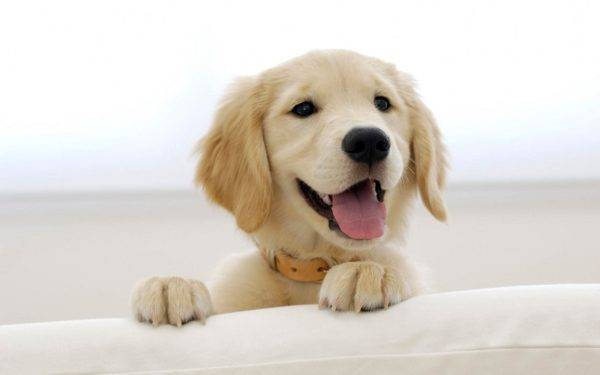 Puppy of Golden Retriever