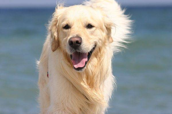 Character of a golden retriever