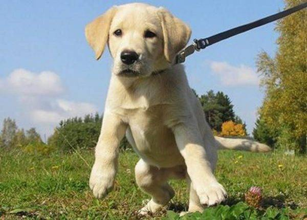 How to train a puppy to a leash