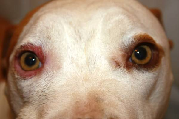 Blepharitis in dogs