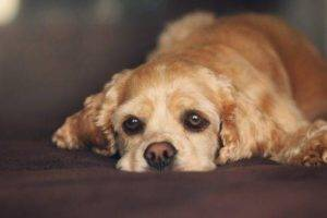 Hepatitis in dogs