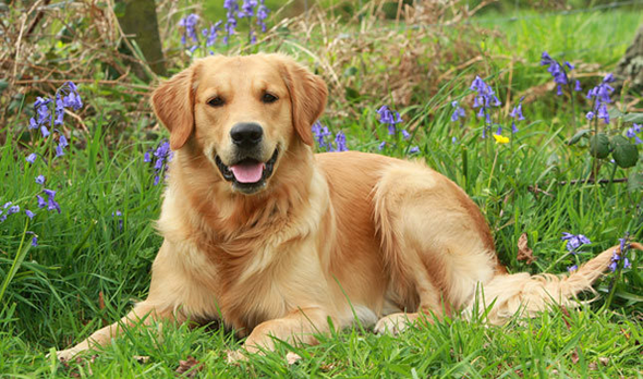 How does a golden retriever look like?