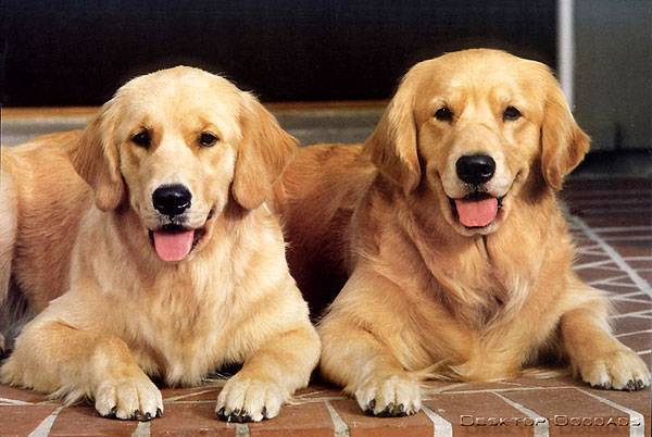 How to care for a golden retriever
