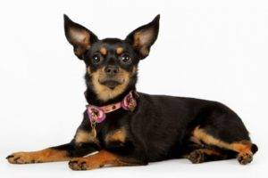 the toy terrier lies