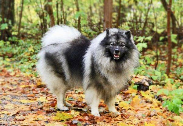 Keeshond in the forest