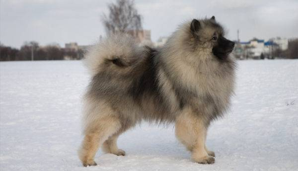 Keeshond in winter