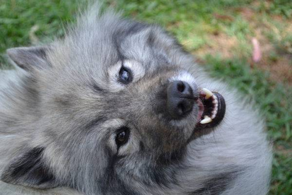 The character of the keeshond