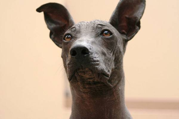 Xoloitzcuintle beautiful photo