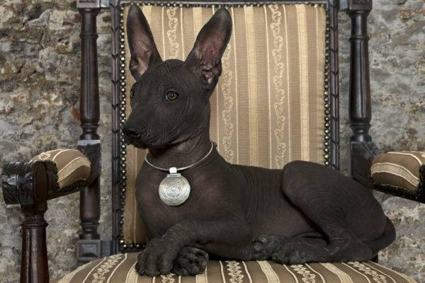 Xoloitzcuintle lying on the chair