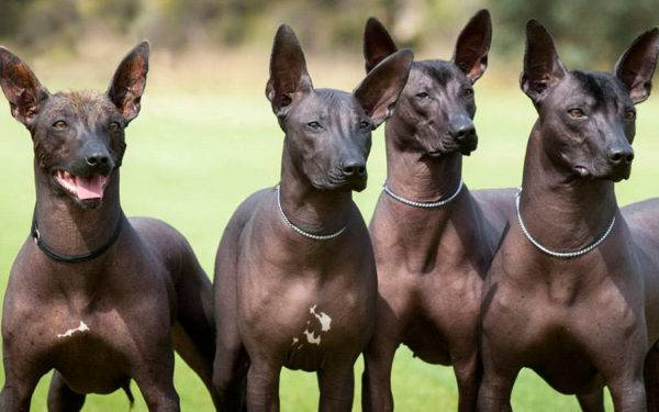 Xoloitzcuintle in nature