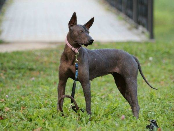 Xoloitzcuintle on a walk