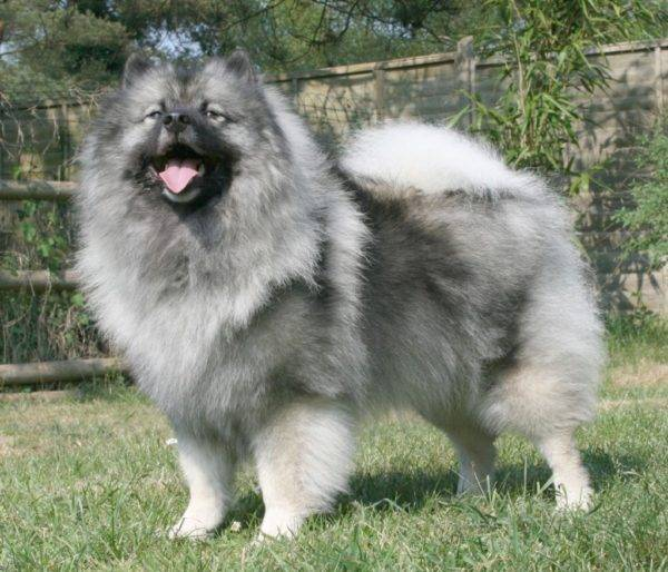 Keeshond on the grass