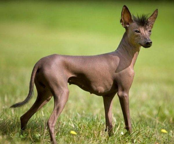 Xoloitzcuintle breed description