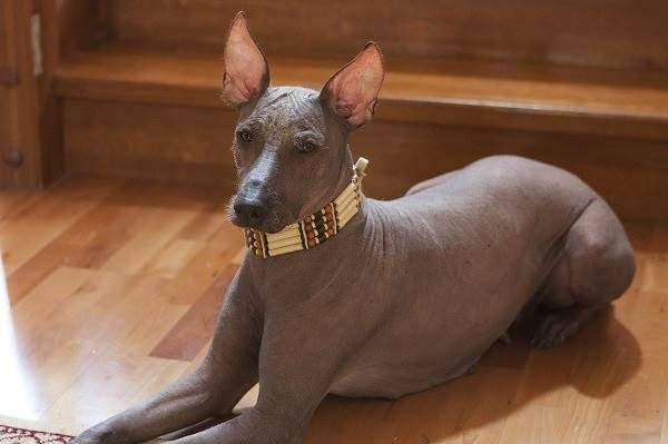 Xoloitzcuintle is resting
