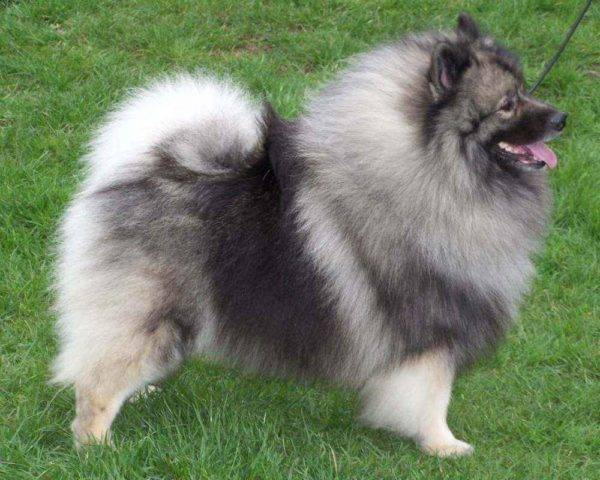 Description of the breed keeshond
