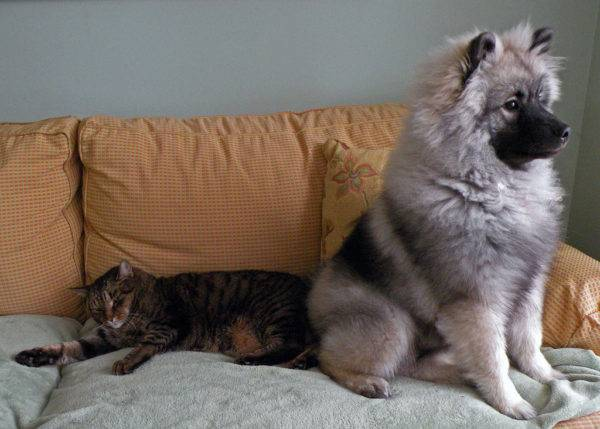 Keeshond with a cat