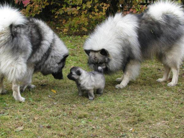 Keeshond with parents